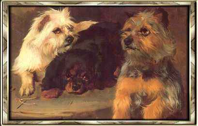 Yorkshire Terrier - hodowla Megi York (FCI) Katowice